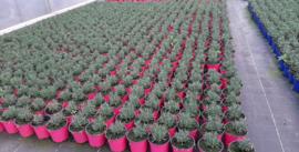 Roze lavendel in pot 13, per 8 st