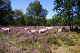 Print Heideveld/schapen 7m2