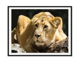 Leeuw liggende positie - Dierenposter