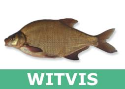 Witvis