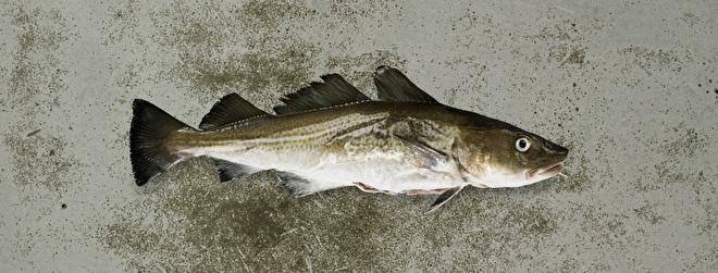Kabeljauw SkreiFish@Home Thuisbezorgd