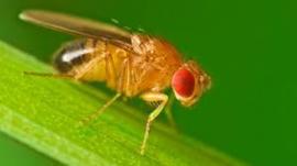 Fruitvliegen groot ( vers opgezet) 1 pot