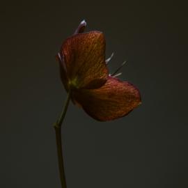 'Helleborus'