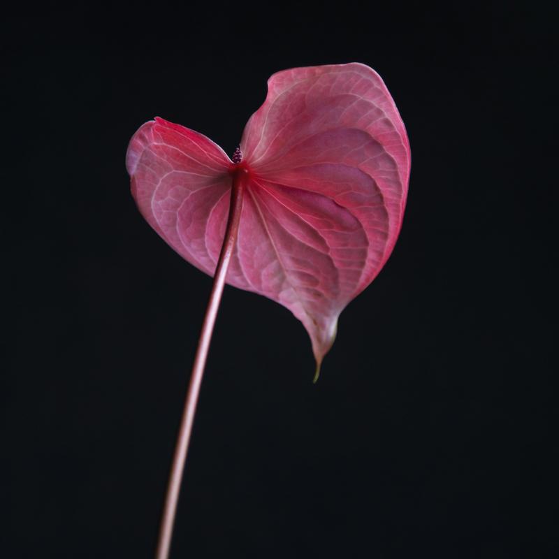 'Pink Lady'