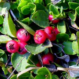 Wintergreen Olie, 10 ml   LakShmi