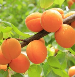 Apricot Olie (abrikozenpit) 100 ml | Lakshmi