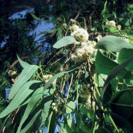 Eucalyptus Citriodora Olie, Brasil, wild, 10 ml   LakShmi