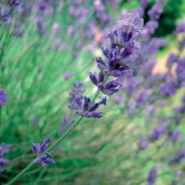 Lavender Spike Olie, Spain, trad. 10 ml   LakShmi