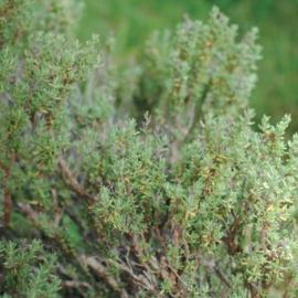 Thyme Borneol Olie (tijm), France, wild, 5 ml   LakShmi