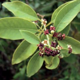 Sandalwood Olie (sandelhout), India, wild, 2 ml   LakShmi