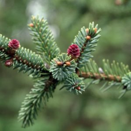 Picea Mariana Olie (spar), Canada, wild, 10 ml   LakShmi
