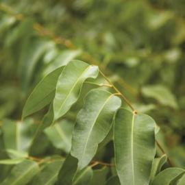 Eucalyptus Radiata Olie, Australia, bio, 10 ml   LakShmi