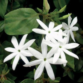 Jasmine abs. Olie, India, wild, 1 ml   LakShmi