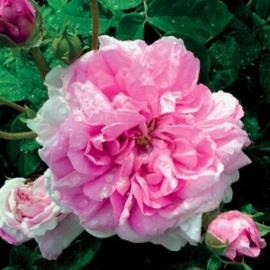 Rose Damascena Olie, Bulgaria, trad. 1 ml   LakShmi