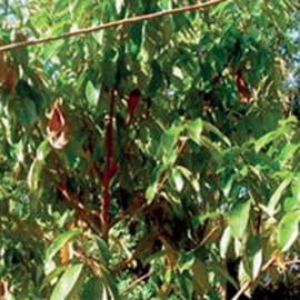 Rosewood Olie (rozenhout), Brazil, wild, 5 ml   LakShmi