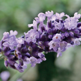 Lavender vera extra Olie (lavendel), bio. 10 ml   LakShmi