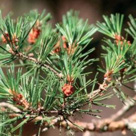Pine Olie (Den), East-Europe, wild, 10 ml   LakShmi