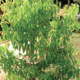 Cinnamon Bark Olie (kaneelschors), Madagascar, bio, 5ml   LakShmi