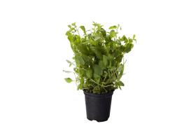 Biologisch Marjolein in Pot