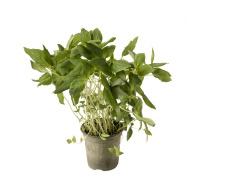 Biologische Thaise Basilicum in Pot