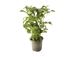 Biologische Stevia in Pot