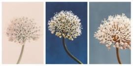 Kaartenset A5 - Allium