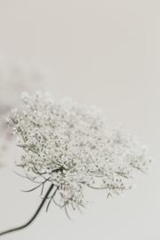 Vlierbloesem Soft white - Kaart A5