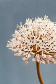 Allium Soft Blue - Kaart A5