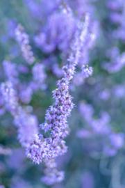 Purple heather - dubbel met envelop