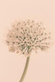 Allium Soft Creme - Kaart A5