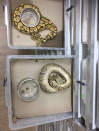 Einlegepapier für Reptilien 50cm x 35cm 500 Stück (Vision Tub V28/V48)