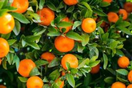 Sinaasappel 10ml