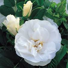 Botanic - and Rugosa roses