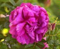 Roseraie de L'Hay
