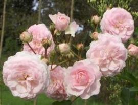 Pink Prosperity