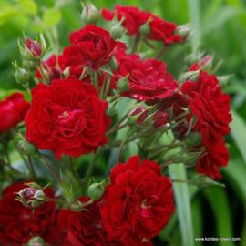 Crimson Siluetta