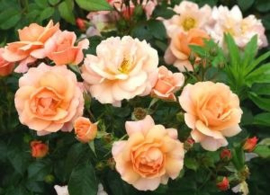 Rigo roses (Kordes)