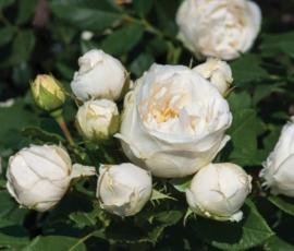 Pearl Vaza