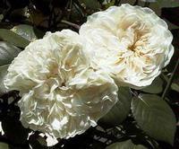 Sombreuil (Colonail White)