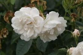 Old nostalgic roses