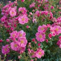 Bienenweide Pink