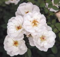Bienenweide White