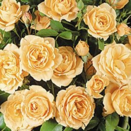 Miniature -and Patio roses