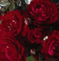 Red Abundance