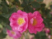 Rosa rubigonosa