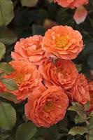 Orange Meilove