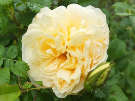 Botanic - and Rugosa roses