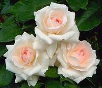 Märchen rozen (Kordes)