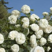 Palais Royal (White Eden Rose)