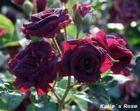 katie's Rose
